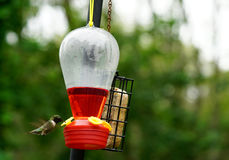 Male Hummingbird royalty free stock photos