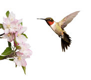 Male Hummingbird hovering next to light pink apple blossoms stock photo