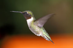 Male Hummingbird hovering Royalty Free Stock Photo
