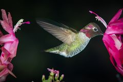 Male hummingbird profile with dark background. This is a photograph of a male hummingbird visits pink flowers with dark green background royalty free stock photography