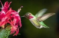 Male hummingbird visits pink flowers with dark green background. This is a photograph of a male hummingbird visits pink flowers with dark green background royalty free stock image