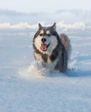Male Husky Royalty Free Stock Image