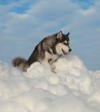 Male Husky Stock Photo