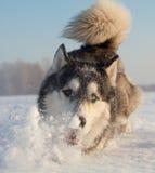 Male Husky Royalty Free Stock Photo