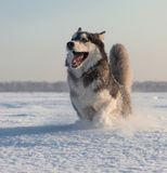 Male Husky Royalty Free Stock Images