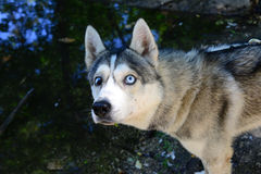 Male Husky afraid of water Royalty Free Stock Photo