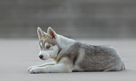 Male husky puppy. Of just 3 months old is posing Stock Photo