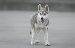 Male husky puppy. Of just 3 months old is posing Stock Photography