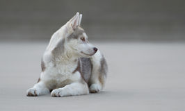 Male husky puppy. Of just 3 months old is posing Stock Images