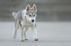 Male husky puppy. Of just 3 months old is posing Stock Image
