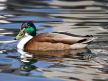 Male Hybrid Mallard Duck Swimming Royalty Free Stock Photography