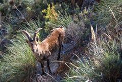 Male Iberian Ibex (Capra pyrenaica) on limestone slope. Spain. A male Iberian Ibex (Capra pyrenaica), also known as a Spanish wild mountain royalty free stock photo