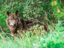 Iberian wolf Canis lupus signatus in the bushes Royalty Free Stock Image