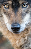 Male iberian wolf Canis lupus signatus portrait Stock Photo