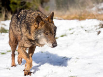Male iberian wolf Canis lupus signatus running in the snow. In winter Royalty Free Stock Photos