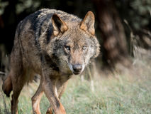 Male iberian wolf Canis lupus signatus stalking Royalty Free Stock Images