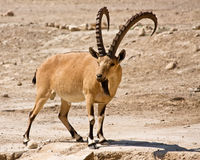 Male Ibex Royalty Free Stock Images