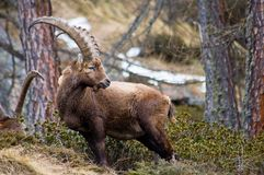 Male ibex. Side view of a male ibex with large horns Stock Photo