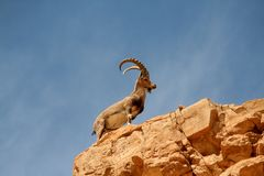 MALE IBEX. Ibex male  overlook forward in the hot desert Royalty Free Stock Photography