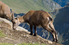 Male Ibex eating. Female Ibex eating salt from rocks Royalty Free Stock Images