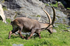 Male ibex (ibex goat) Stock Photo