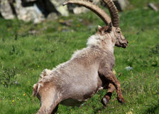 Male ibex (ibex goat) Royalty Free Stock Image