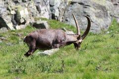 Male ibex (ibexgeten) Royaltyfri Bild