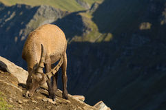 Male ibex on mountainside. Male ibex eating salt from rocks on steep mountainside with valley in background Royalty Free Stock Image