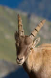 Male Ibex portrait. He seems so calm and curious....unbelivable Royalty Free Stock Photo