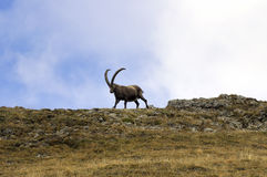 Male ibex walking on a crest Stock Photography