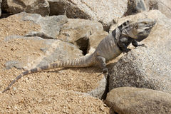 Male, Iguana On The Rocks In Cabo San Lucas, Mexico Royalty Free Stock Photos