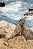 Male, Iguana on the rocks in Cabo San Lucas, Mexico Stock Photo