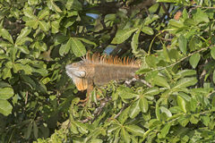 Male Iguana in a Tree Royalty Free Stock Photos