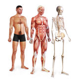 Male illustration of skin, muscle and skeletal systems Royalty Free Stock Photos