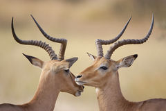 Male Impala. S (Aepyceros melampus) grooming, Kruger Park, South Africa Stock Photography