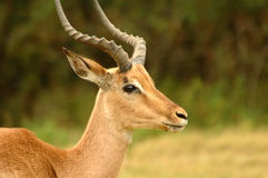 Male impala Stock Images