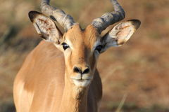 Male Impala Arkivfoto