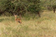 Male impala. Adult male impala in serengeti national park, tanzania Stock Photo