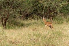 Male impala. Adult male watchful impala in serengeti national park, tanzania Royalty Free Stock Images