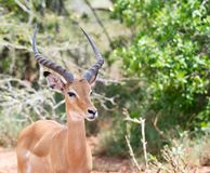 Male impala (Aepyceros melampus) Stock Photos