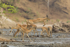 Male Impala (Aepyceros melampus) jumping across mud. Sub-adult male Impala (Aepyceros melampus) jumping across mud Royalty Free Stock Image