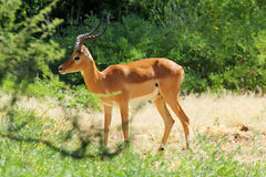 Male impala Royalty Free Stock Images