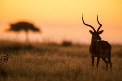 Male Impala silhouetted at sunrise. Male Impala, Aepyceros melampus, silhouetted at sunrise, Masai Mara Game Reserve, Kenya stock images