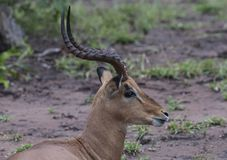Male Impala, Aepyceros melampus,sitting on ground. Looking right, showing off beautiful twisted antlers, Kruger National Park, South Africa stock photography