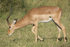 Male Impala (Aepyceros melampus) South Africa Stock Images