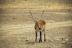 Male impala stock photography