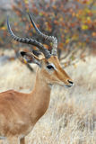 Male impala antelope. In the african bush, Kruger NP, South Africa stock photography