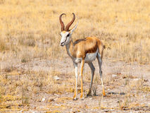 Male impala antelope, Aepyceros melampus, living in eastern and southern Africa. Royalty Free Stock Images