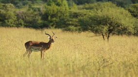 Male impala antelope stock video