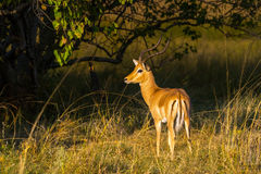 Male impala antelope. Aepyceros melampus with typical long, slender horns standing in the bush. Moremi game reserve, Botswana, Africa Royalty Free Stock Image